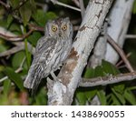 Small photo of Pallid Scops Owl (Otus brucei) perched in a tree during the night.