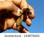 mole cricket in human hand | Shutterstock . vector #143870602