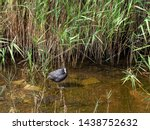 Cute Eurasian Coot In Natural...