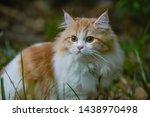 Persian Cat  Brown Fur ...