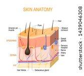 skin anatomy. layers  epidermis ... | Shutterstock .eps vector #1439046308