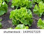 Field Of Green Lettuce...