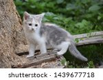 Stock photo speckled white kitty cat grey and white kitten 1439677718