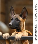 Stock photo cute puppy belgian shepherd malinois portrait of a puppy 1439705792