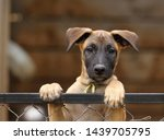 Stock photo cute puppy belgian shepherd malinois portrait of a puppy 1439705795