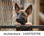 Stock photo cute puppy belgian shepherd malinois portrait of a puppy 1439705798