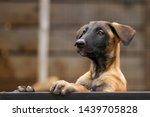 Stock photo cute puppy belgian shepherd malinois portrait of a puppy 1439705828