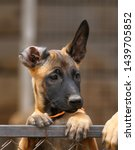 Stock photo cute puppy belgian shepherd malinois portrait of a puppy 1439705852