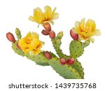 Cactus Flowers And Young Fruit  ...
