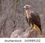 A Red Tailed Hawk  Buteo...