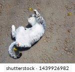 Stock photo cute gray kitten playing outside gray kitten with beautiful amber colored yellow eyes 1439926982