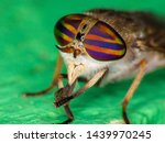 A Tabanidae Fly Also Known As...
