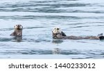 Mother Sea Otter With Her Pup...