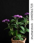 Small photo of purple heliotrope flower and black background