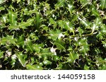 Holly Bush Leaves Texture...