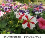 Two Color Stripped Petunias In...