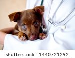 Stock photo the vet examines a puppy in the hospital the little dog got sick puppy in the hands of a veteran 1440721292