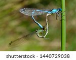 Stock photo dragonfly coenagrion a pair of dragonflies during mating season 1440729038