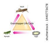 Grasshopper Life Cycle Vector...