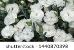 white and pink flowers on the... | Shutterstock . vector #1440870398