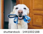 Small photo of Dog waiting for walk. Labrador retriever standing with leash in mouth against door of house.