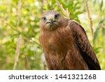 Hawk Portrait With Selective...