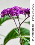 Small photo of purple heliotrope in white background