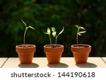 Little Chili Plants On The...