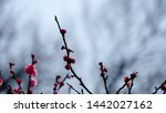 white and pink apricot blossoms ... | Shutterstock . vector #1442027162