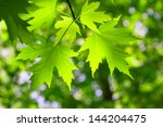 green maple leaf in spring | Shutterstock . vector #144204475