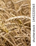 wheat spikelets in the field... | Shutterstock . vector #1442220365