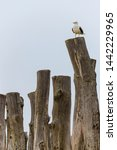 Small photo of lonely seagull on top of stockade in a french beach