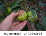 Fresh Raw Apples On A Tree....