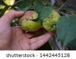 Apple Scab Is A Disease Of...
