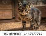 Stock photo porttrait of a young tabby cat 1442477012