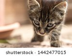 Stock photo porttrait of a young tabby cat 1442477015