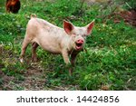 Cute young pig on a rural farm - stock photo