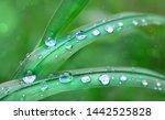 Dew Drops On Green Grass Leaf...