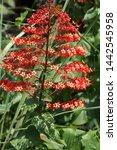 Red flowers of Padoga Flower