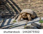 Stock photo the african spurred tortoise centrochelys sulcata also called the sulcata tortoise 1442875502