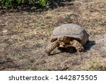 Stock photo the african spurred tortoise centrochelys sulcata also called the sulcata tortoise 1442875505