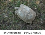 Stock photo the african spurred tortoise centrochelys sulcata also called the sulcata tortoise 1442875508