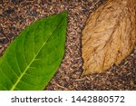 Tobacco Leaves Texture  Close...