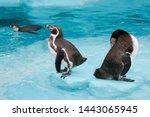 Flock Of Humboldt's Penguins...