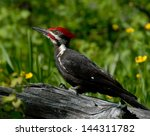 Pileated Woodpecker On Log