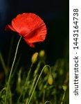Red Wild Poppy On A Meadow In...