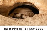 Stock photo the desert tortoises gopherus agassizii and gopherus morafkai also known as desert turtles are 1443341138