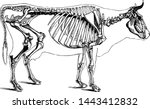 Cow Skeleton  Vintage Engraved...
