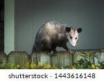 Adult Female Virginia Opossum ...