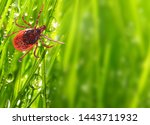 Small photo of Tick on green grass. Dangerous parasite. This animal is vehicle of many infections
